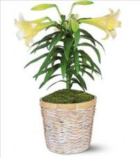 Easter Lily Plant Floyd, VA Florist, Floyd Florists, Florists in Floyd VA, Floyd Florists - Floyd VA Flowers Delivery,